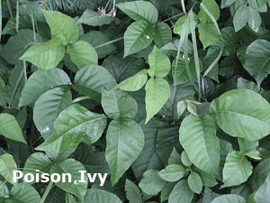 poison-ivy-leaves