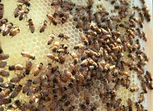 colony-collapse-disorder-threatens-honeybees