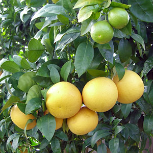 grapefruit cluster