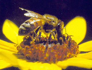 honey-bees-disappearing