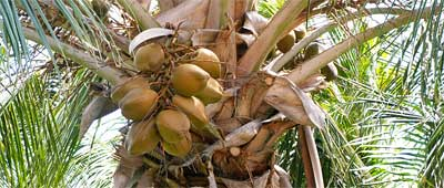 coconuts-for-healthy-survival
