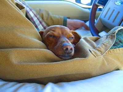 sampson-napping-in-the-truck