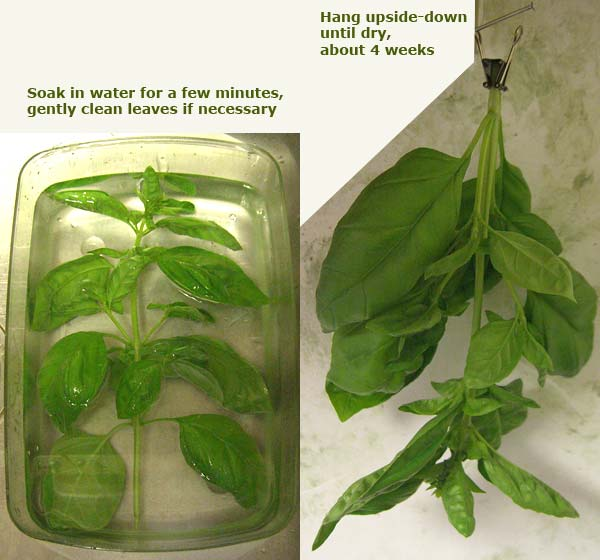 Basil Herb, Harvest – Rinse – Hang – 6/3/12