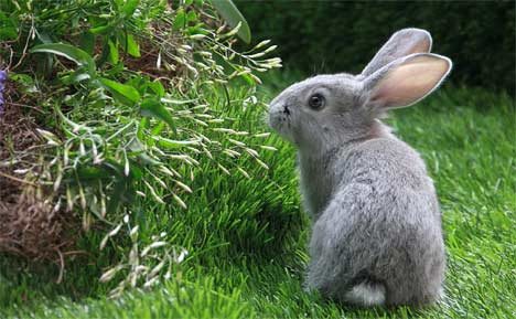How to get rid of rabbits from your garden