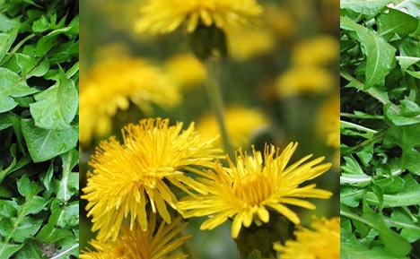 edible-dandelions