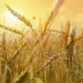 difference-between-hard-red-white-wheat