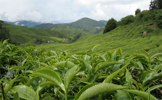 tea-grows-from-camellia-sinensis-plant