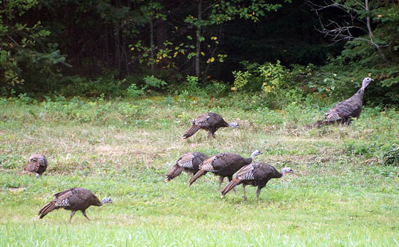 new-hampshire-turkeys