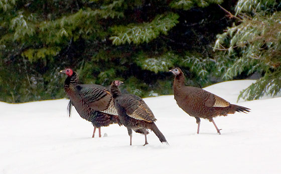 3-turkeys