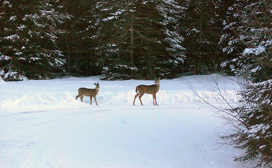doe-and-fawn-in-driveway
