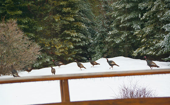 turkeys-in-the-yard