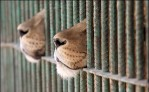 caged-lions
