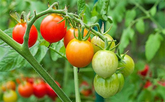 tomato-plant-tying