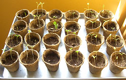 seedlings-after-one-week