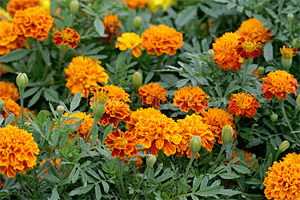 french-marigold-beneficial-potatoes