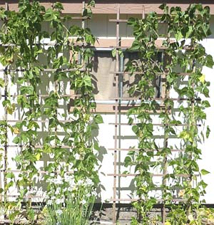 pole-beans-growing-on-trellis
