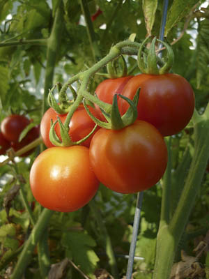 chadwick-cherry-tomatoes-on-vine