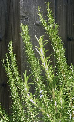 rosemary-herbs-shrub