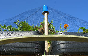 Keep Birds Out Of Strawberry Patch With Net