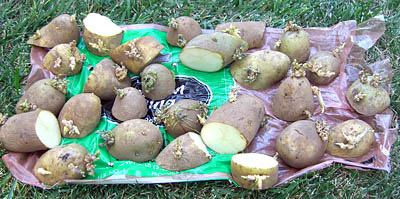 russet-potatoes-for-the-garden