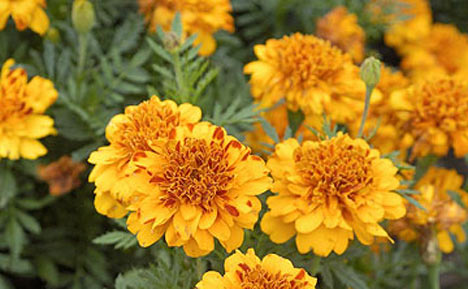 The Varieties Of The French Marigold