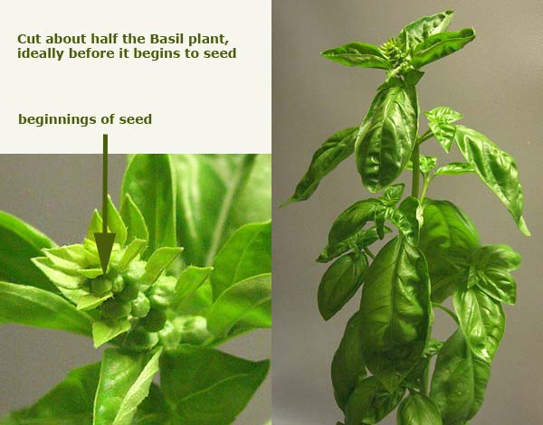 cut-harvest-basil-before-it-flowers