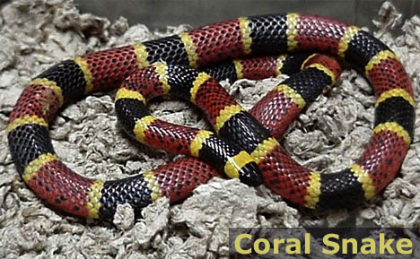 Image Result For Coral Snake Colors