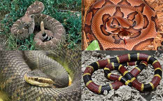 Four Deadly Poisonous Snakes in America