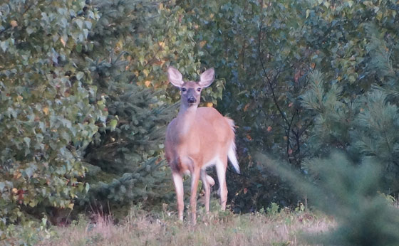new-hampshire-white-tailed-deer
