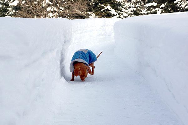 Mini Dachshund in deep snow