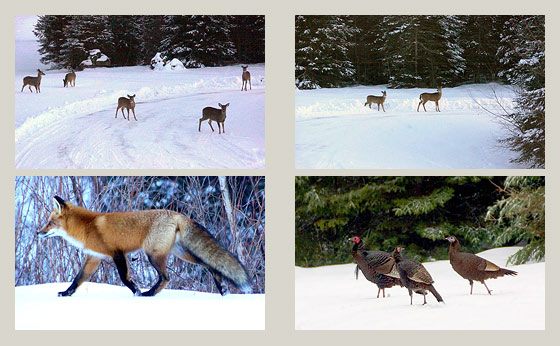 fox-deer-turkeys