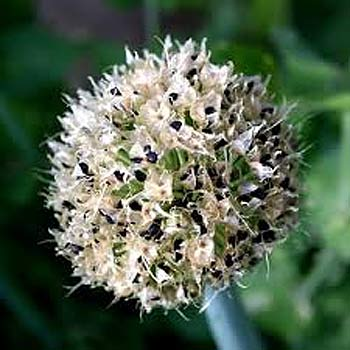 Alium, onion, garlic, seed head
