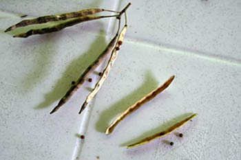 Brassica seeds and seedpods