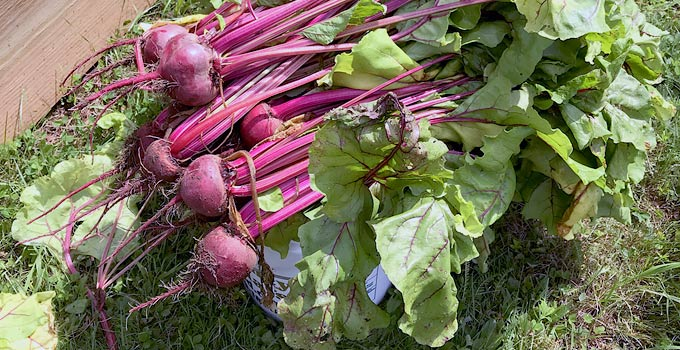 Beets Nutrition For Health & Survival Garden Calories