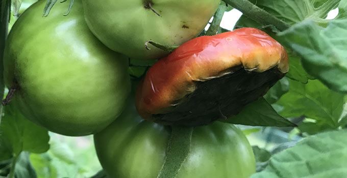 Bottom of tomato is rotten with Blossom End Rot