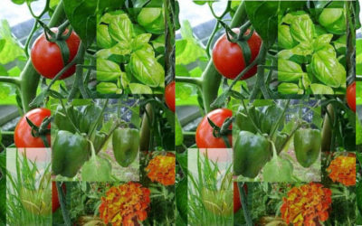 Tomato Companion Plants that are Beneficial for your Garden