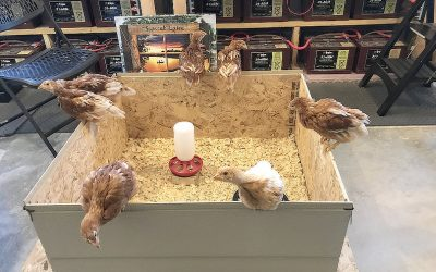 Time To Move Into The Chicken Coop | Chicken Run