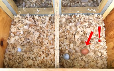 First Egg In The Nesting Box! Production Is Ramping Up!