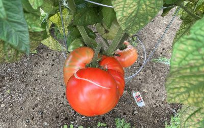 How To Save Tomato Seeds For Next Years Garden
