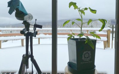 Growing Tomatoes Indoors During Winter