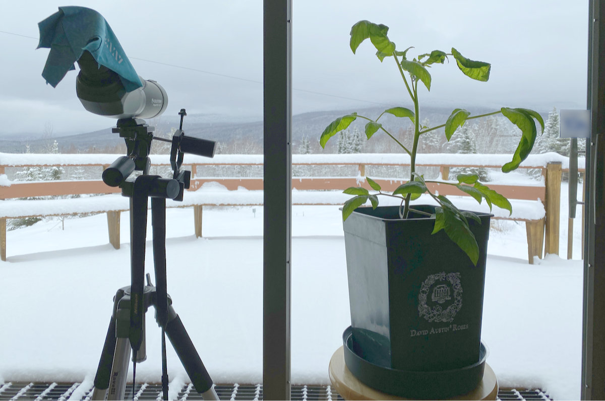 growing a tomato plant indoors during winter