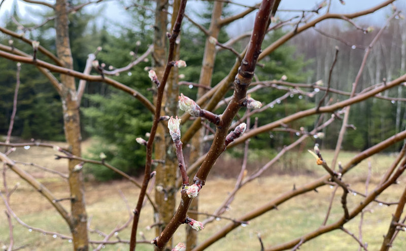 Frost Damage On Fruit Trees – Critical Temperatures Chart