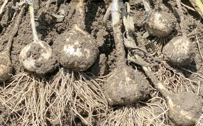 Grow Your Own Garlic – Just Plant The Cloves – Here's how-to do it