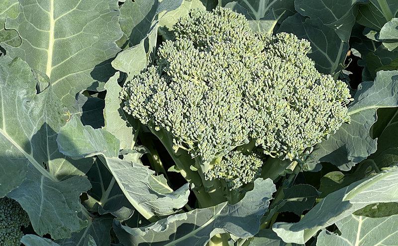 Broccoli – I Grow The Plant For Its Antioxidant Health Benefits